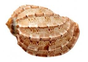 Sticker coquillage mer