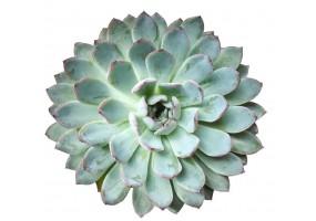 Sticker cactus fleur