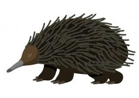 Sticker Australie porc-épique noir