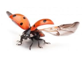 Sticker coccinelle ailes