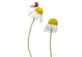 Sticker coccinelle fleur
