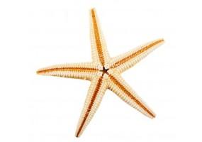 Sticker coquillage étoile de mer