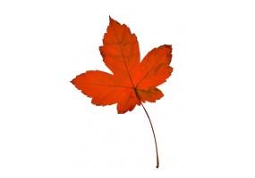 Sticker feuille automne rouge