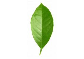 Sticker feuille verte