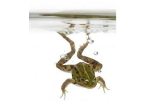 Sticker grenouille eau