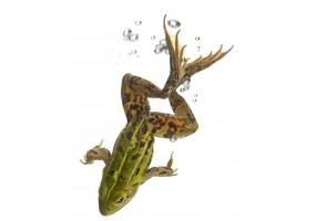 Sticker mural grenouille