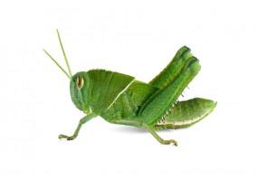Sticker sauterelle verte