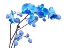 Sticker orchidée bleue