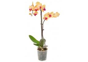 Sticker orchidée jaune