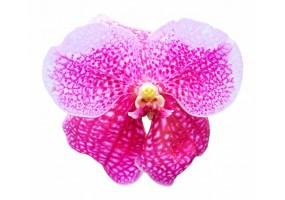 Sticker orchidée rose
