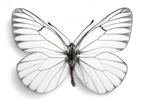 Sticker papillon blanc