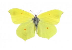 Sticker mural papillon jaune