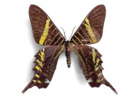 Sticker papillon marron