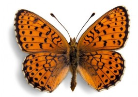 Sticker papillon orange