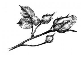Sticker pivoine noir blanc