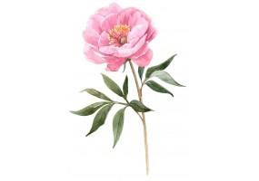 Sticker pivoine aquarelle