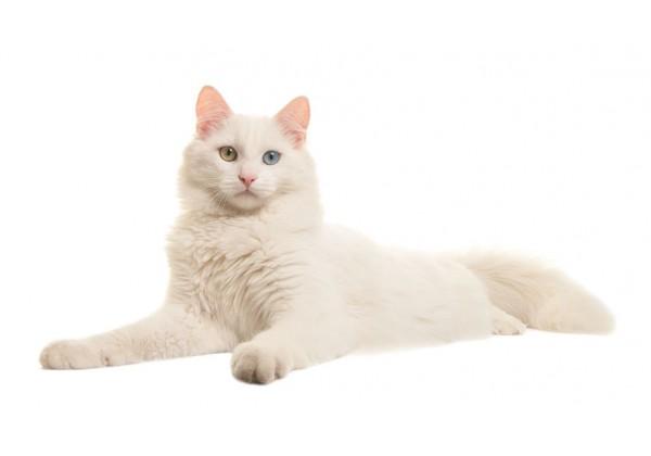 Sticker Chat angora blanc