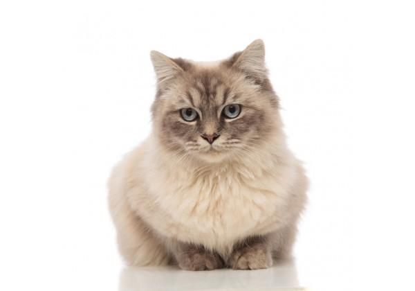 Sticker Chat angora beige assis