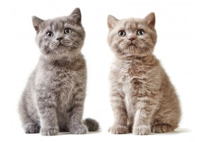 Sticker Chat british shorthair