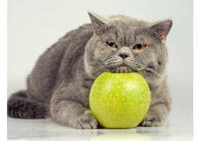 Sticker Chat british shorthair pomme