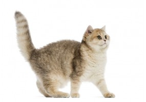 Sticker Chaton british shorthair