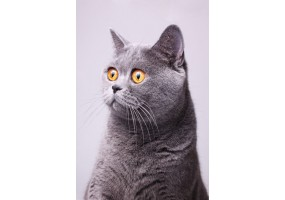 Sticker Chat british shorthair gris