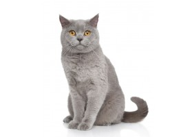 Sticker Chat british shorthair assis
