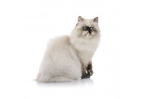 Sticker Chat british shorthair