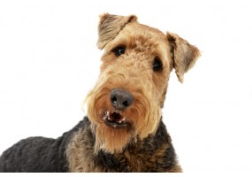 Sticker Chien airedale terrier saute