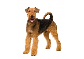 Sticker Chien airedale terrier profil