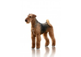 Sticker Chien airedale terrier debout