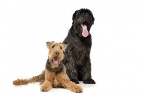 Sticker Chien airedale terrier assis