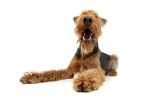 Sticker Chien airedale terrier allongé