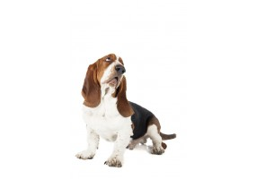Sticker Chien basset assis