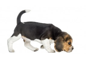 Sticker Chien beagle