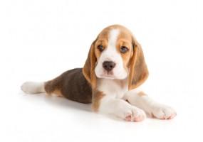 Sticker Chien chiot beagle