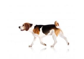Sticker Chien beagle saute