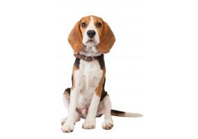 Sticker Chien beagle marche