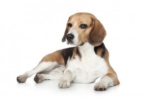 Sticker Chien beagle allongé