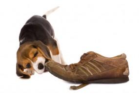 Sticker Chien beagle chapeau