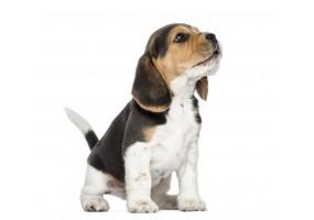 Sticker Chien beagle assis