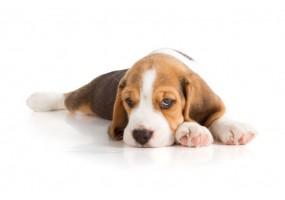 Sticker Chien beagle dors