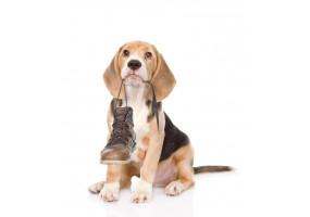 Sticker Chien beagle chaussure