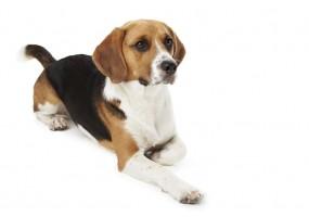 Sticker Chiot beagle assis