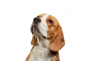 Sticker Chien beagle profil