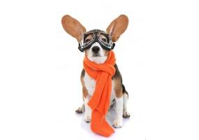 Sticker Chien beagle lunette