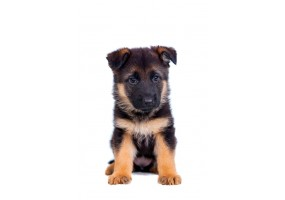 Sticker Chien berger allemand