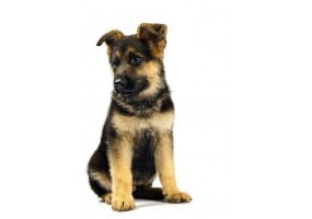 Sticker Chiot berger allemand