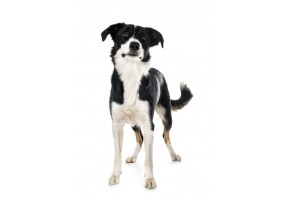 Sticker Chien border collie