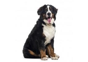 Sticker chien bouvier bernois